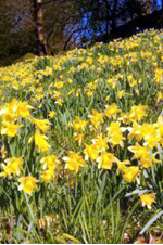 Dafodils in the Lake District.